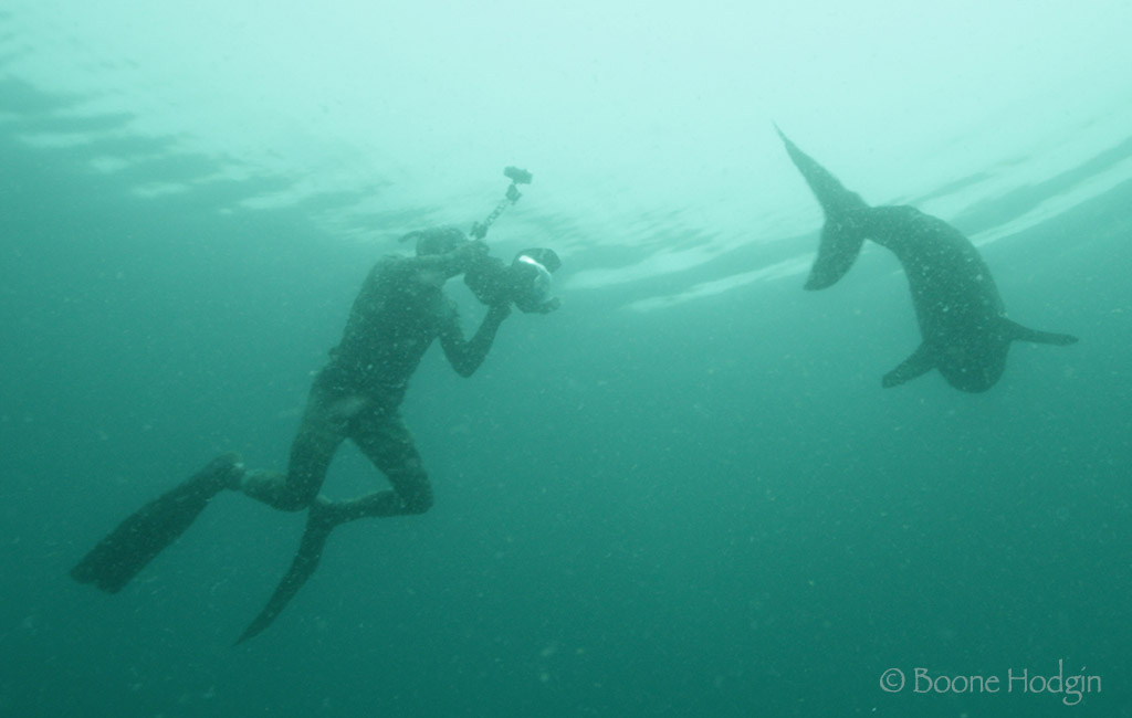 diver with salmon shark