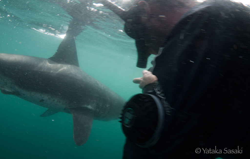salmon shark with snorkeler